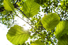 Fresh Leaves in the Sunlight Stock Photography
