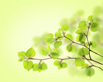 Fresh leaves Royalty Free Stock Photo