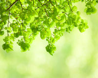 Fresh leaves of Tilia Royalty Free Stock Photography