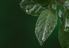 Fresh leaves with water drops. Stock Photos