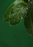 Fresh leaves with water drops. Royalty Free Stock Photography