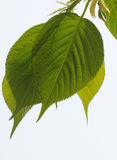 Fresh leaves Stock Photos
