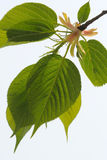 Fresh leaves Royalty Free Stock Images