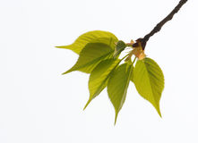 Five fresh leaves Royalty Free Stock Photography