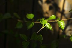 Fresh leaves of a young birch stock image