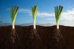 Fresh Leeks. Side view of three leeks with the roots in the ground with sky panorama stock images