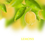 Fresh lemon. Lemon tree with white background Stock Image