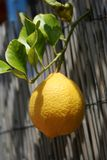 Fresh lemon. Closeup of a fresh lemon on the tree Stock Images