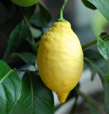 Fresh lemon. On lemon tree Royalty Free Stock Images