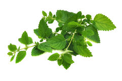 Fresh Lemon Balm Royalty Free Stock Photo