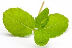 Fresh lemon balm Stock Image