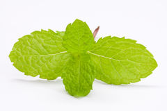 Fresh lemon balm Stock Images