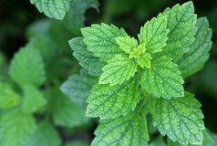 Fresh Lemon balm in the garden Royalty Free Stock Photo