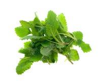 Fresh lemon balm herb Stock Image