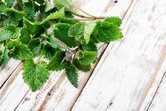 Fresh green leaf Melissa stock photography