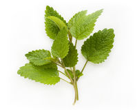 Fresh lemon balm (melissa) Stock Photo