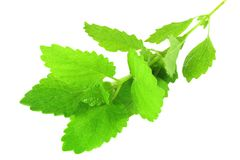 Fresh lemon balm mint herb Stock Photo