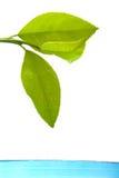 Fresh lemon leaves Stock Photography
