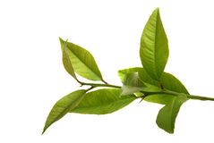 Fresh lemon leaves Stock Photo