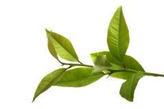 Fresh lemon leaves Stock Photo