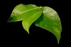 Fresh lemon leaves stock images