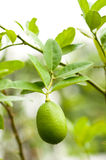 Fresh Lemon Tree Royalty Free Stock Photo