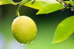 Fresh lemon on tree. Fresh yellow lemon with raindrops on tree royalty free stock photos