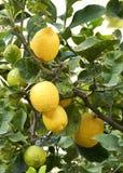 Fresh lemon on the tree, lemon tree, maltese flora, maltese fruits. malta fora Stock Photos