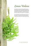 Fresh lemon verbena. Hanging from a rope with copy space Stock Image