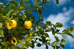 Fresh Lemons Royalty Free Stock Image