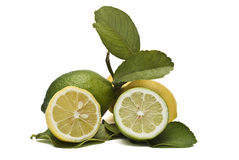 Fresh lemons on the branches. Some lemons on the branch and one cut Stock Photo