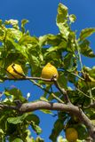 Fresh lemons on lemon tree blue sky nature summer Stock Photography