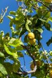 Fresh lemons on lemon tree blue sky nature summer Stock Photography