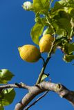 Fresh lemons on lemon tree blue sky nature summer Royalty Free Stock Images