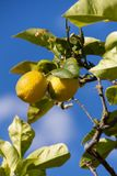 Fresh lemons on lemon tree blue sky nature summer Stock Photo