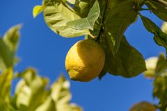 Fresh lemons on lemon tree blue sky nature summer Stock Photo