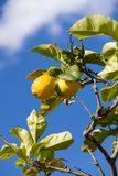 Fresh lemons on lemon tree blue sky nature summer Royalty Free Stock Photo