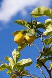 Fresh lemons on lemon tree blue sky nature summer Royalty Free Stock Photo