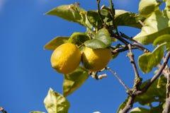 Fresh lemons on lemon tree blue sky nature summer Royalty Free Stock Images
