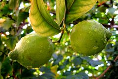 Fresh lemons on the tree.... Royalty Free Stock Photo