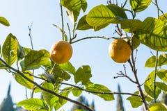 Fresh lemons on tree in garden Stock Photo