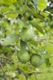 Fresh lemons on a tree Stock Photo