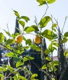 Fresh lemons on tree in Verona city in spring Stock Photos
