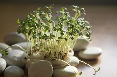 Fresh lepidium sativum growing on facial cotton. Swab, looks like small tropical island, tasty and healthy edible herb, brown background, white stones Stock Images