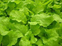 Fresh lettuce. 