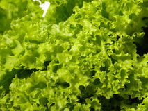Fresh lettuce Stock Photo