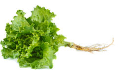 Fresh lettuce. Royalty Free Stock Images