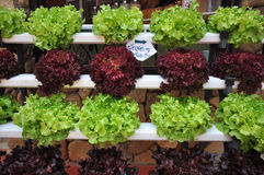 Fresh lettuce. Fresh green and red lettuce in shelf Stock Images