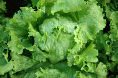 Fresh lettuce Royalty Free Stock Photo