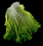 Fresh Lettuce. Wet fresh lettuce close up stock image